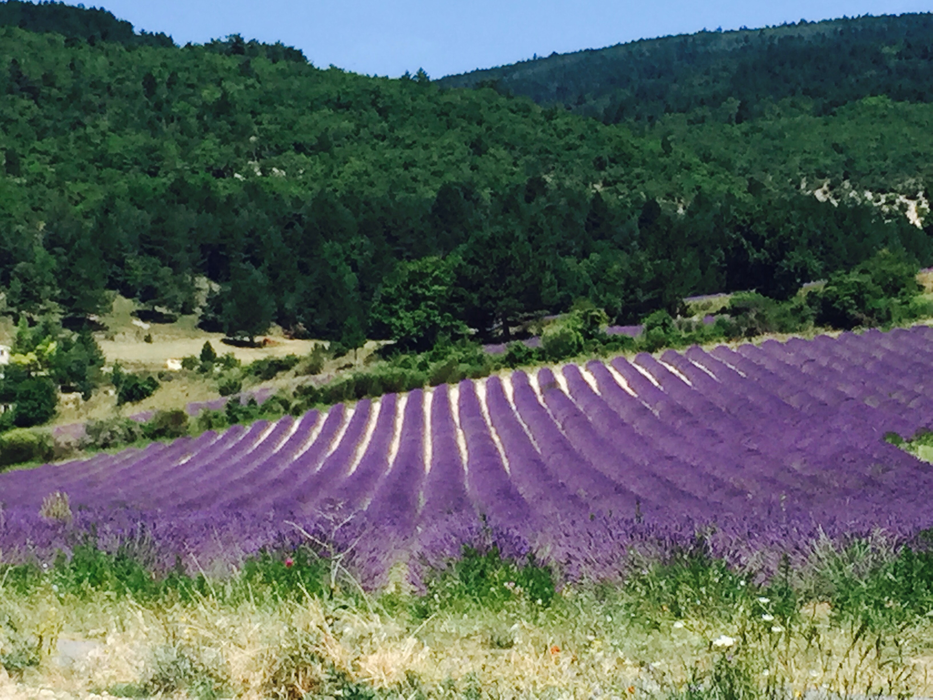 The Lavender is at its best & Mont Ventoux