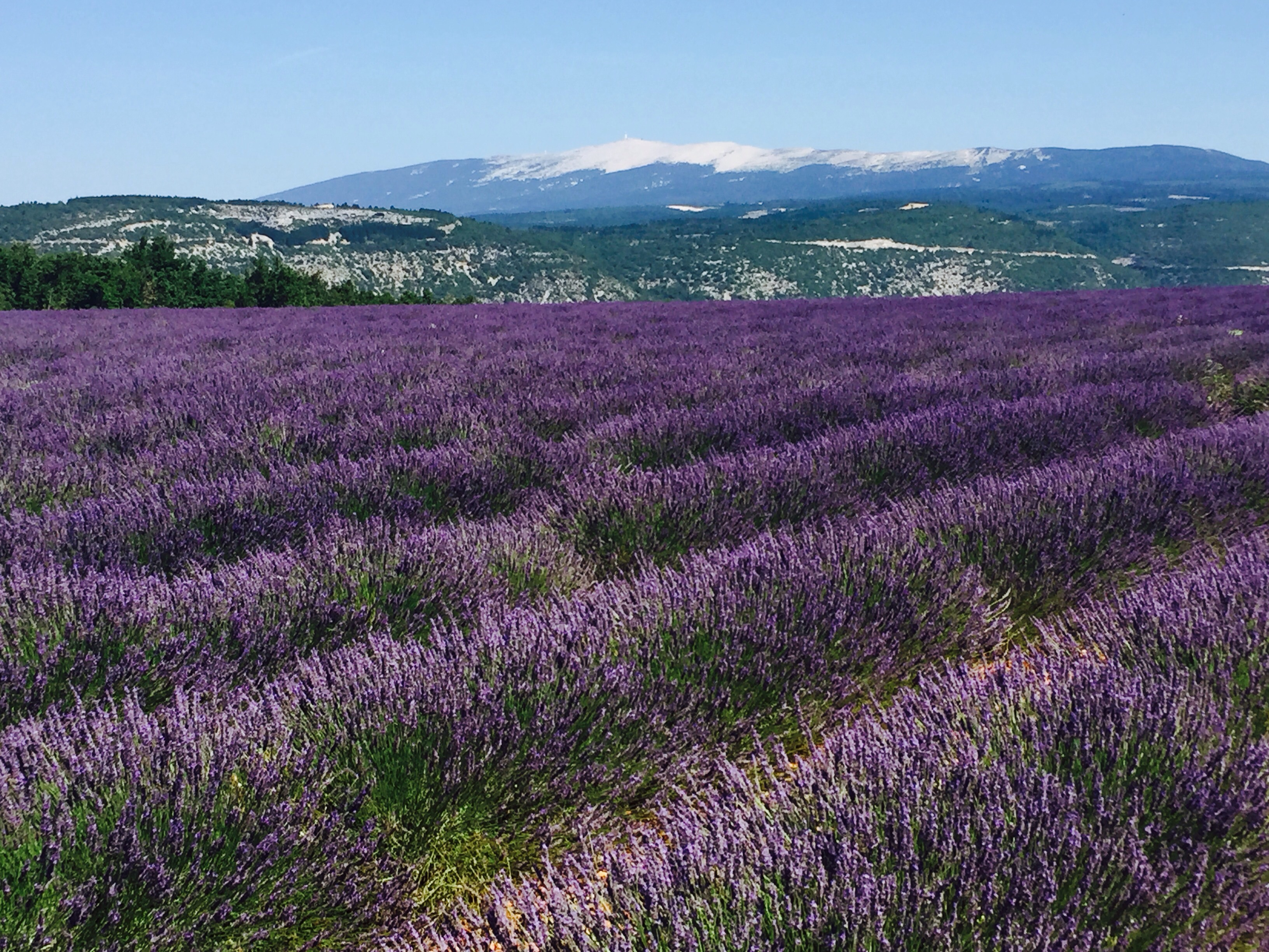 The Lavender is at its best & Mont Ventoux - Accommodation