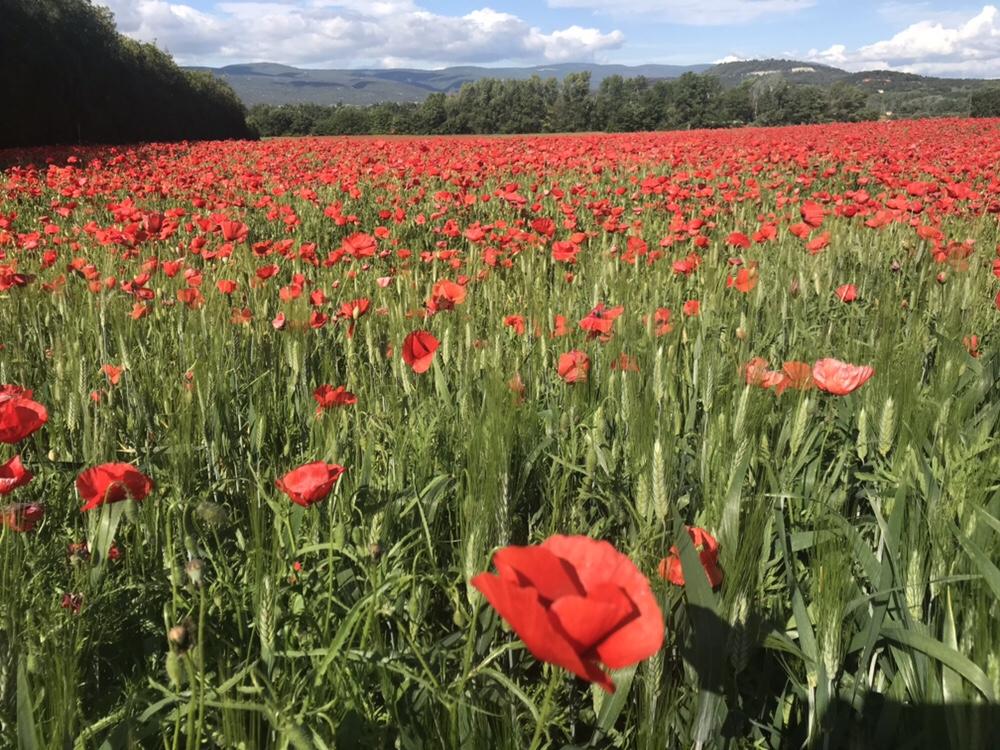 May poppies