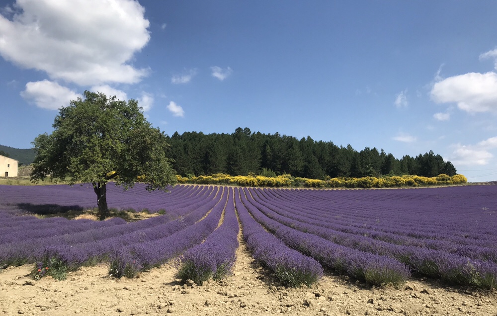 Lavender season